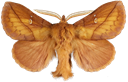 Euthrix potatoria (Linnaeus, 1758)