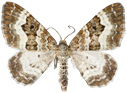 Epirrhoe alternata (Müller, 1764)