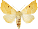 Crocallis elinguaria (Linnaeus, 1758)