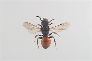 Sphecodes ferruginatus Hagens, 1882