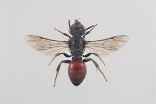 Sphecodes pellucidus F. Smith, 1845
